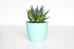 Little succulent plant in turquoise tub